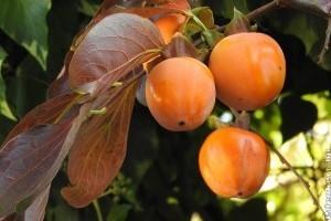 Japán kakiszilva-fajták | Persimmon, Fruit, Food