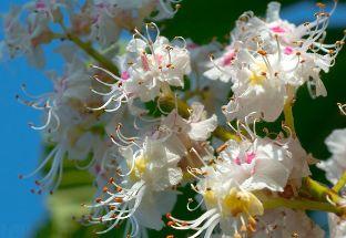 tinktúra gesztenye virágok visszér vélemények