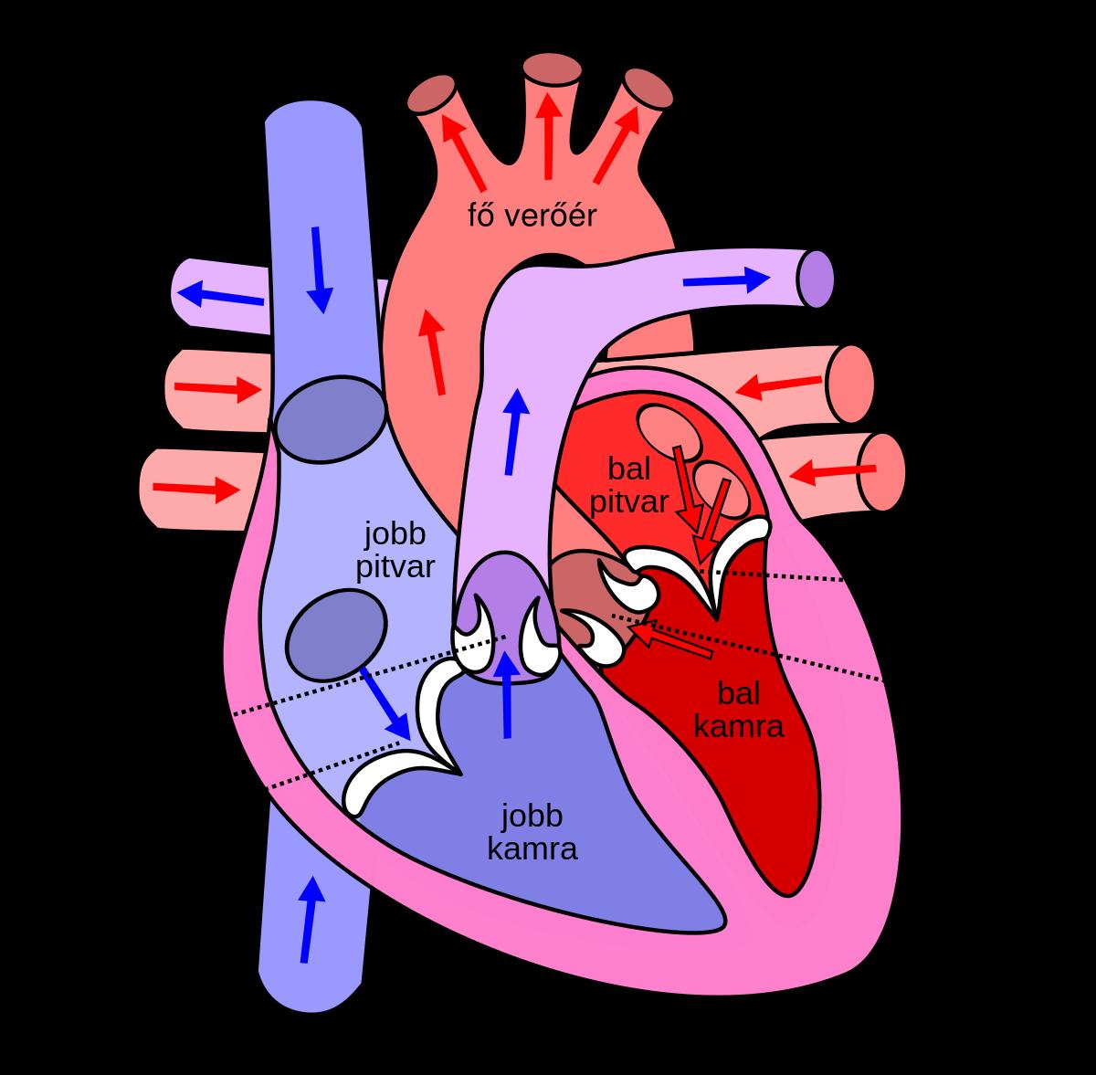 hogyan kapcsolódik össze a szív és a visszér