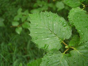 Györgytea Nyírfa (Betula pendula) - Györgytea gyógynövény leírás