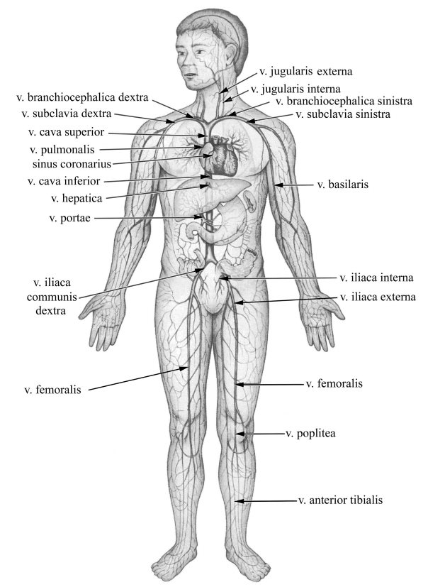 Az alkoholizmus alsó végtagjainak véna trombózisa
