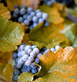 szőlőből származó visszérgyógyszerek