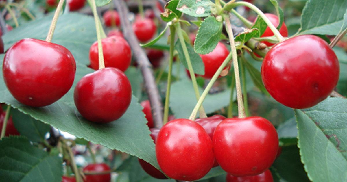 cseresznye hasznos visszér
