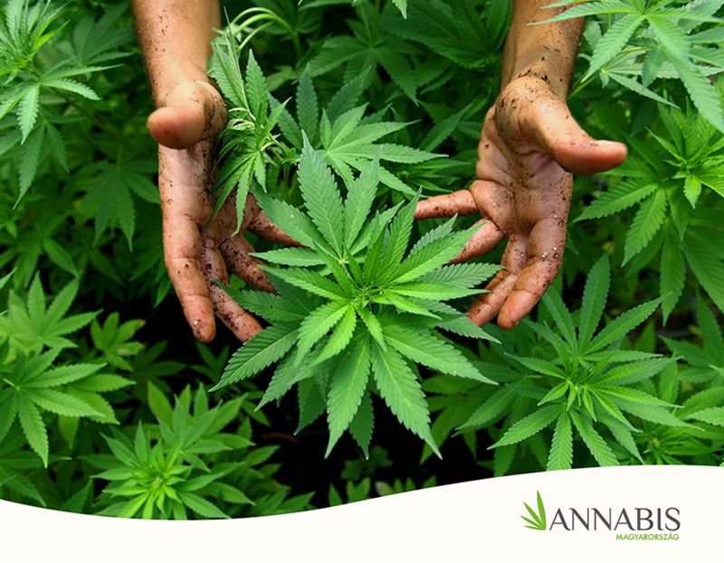 marihuána visszér ellen