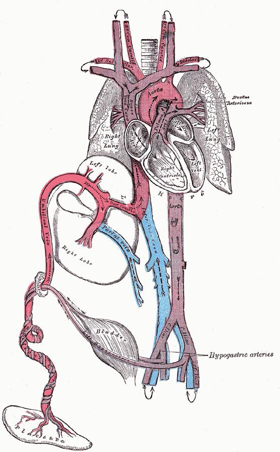 a placenta visszér